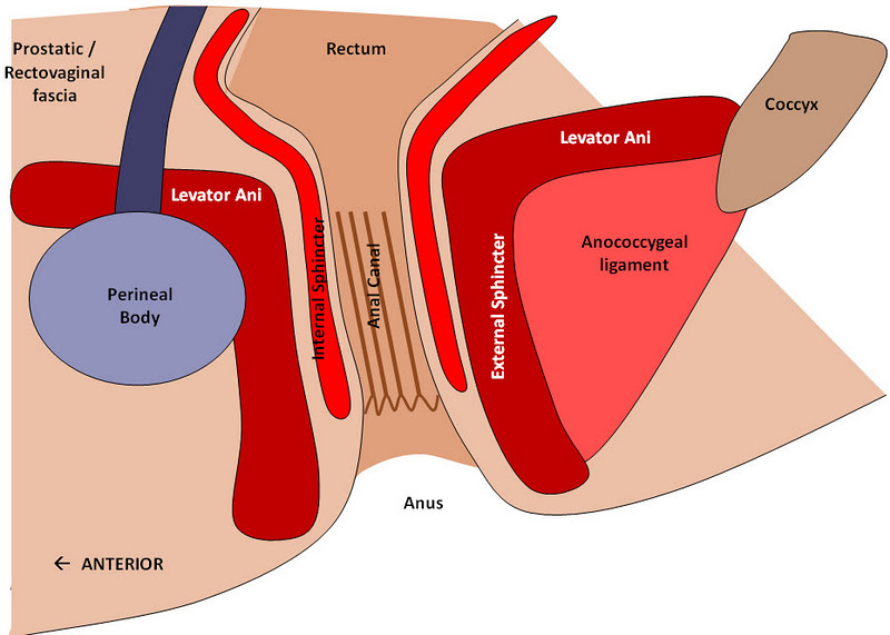 Anal Canal - Location, Function and Pictures