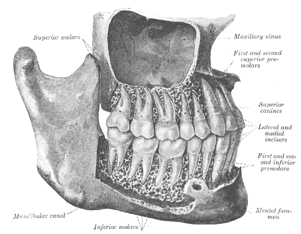 Mandibular Canal - Location, Function and Pictures