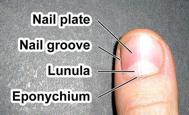Nail Plate Appearance Function And Pictures