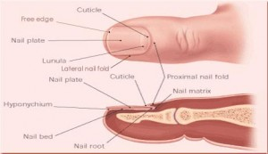 Picture of Nail Matrix