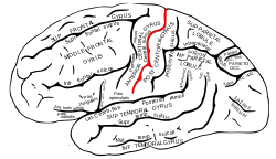 Picture of Central sulcus