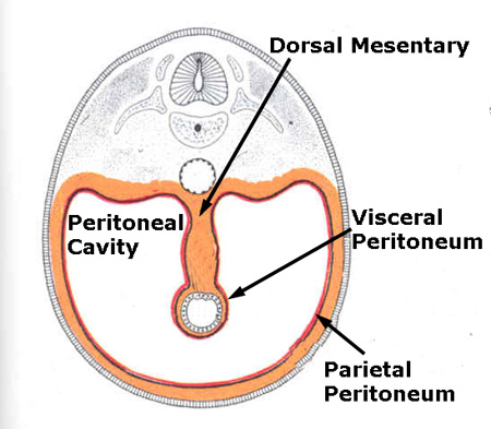 dorsal mesentery - definition, location and pictures, Human Body