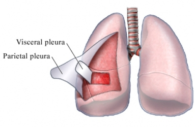 parietal pleura - location, function, description and pictures, Human Body