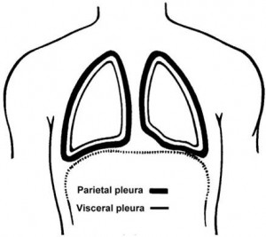 Picture of Parietal pleura