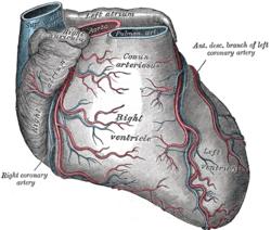 Image of Anterior interventricular sulcus