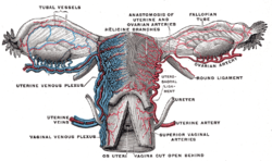 Image of Cardinal Ligament