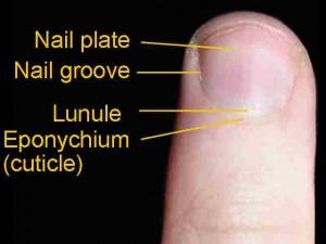 Image of Eponychium
