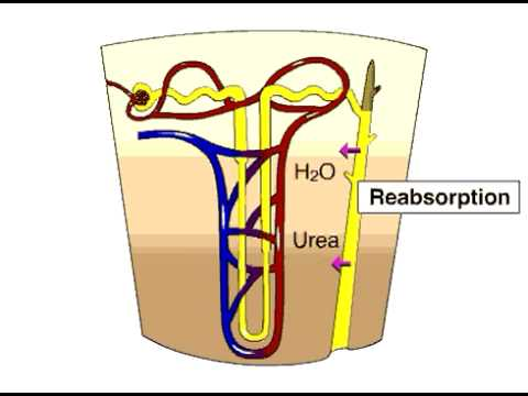 renal lobe, Human Body
