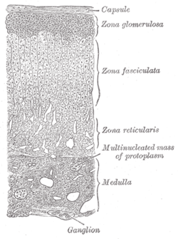 Image of Zona reticularis