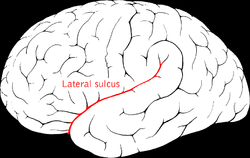 Picture of Lateral sulcus