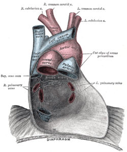 Picture of Pericardial sinus