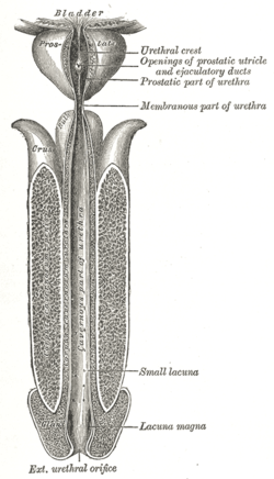 Image of Spongy urethra
