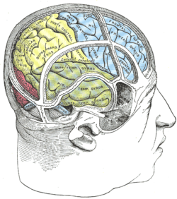 Image of Inferior temporal gyrus