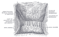 Picture of Intersphincteric groove