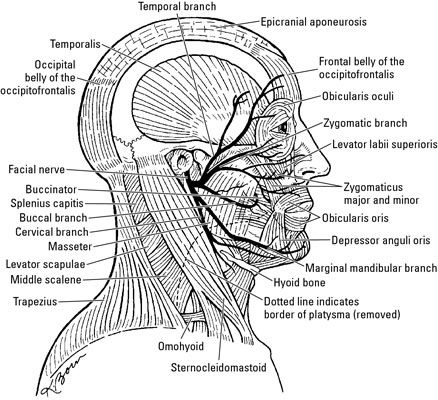 Occipitofrontalis on cranial circulatory system