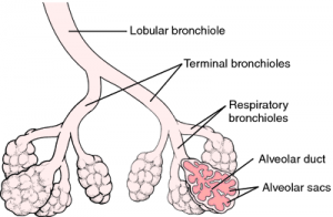 Image of Terminal bronchiole