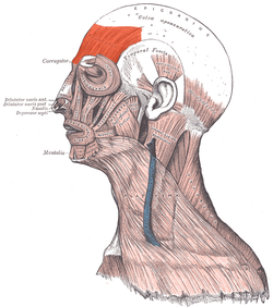 Picture of Frontalis