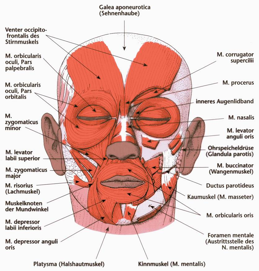 levator anguli oris - location, function, disorders and pictures, Human Body