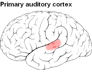 Picture of Primary auditory cortex
