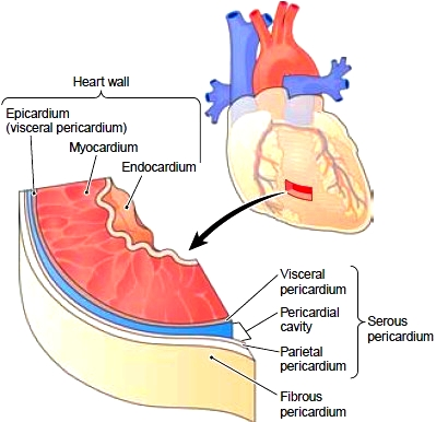 Serous Pericardium Anatomy Functions And Pictures