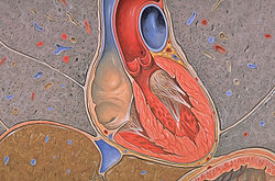 Image of Atrioventricular septum