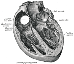 Picture of Atrioventricular septum