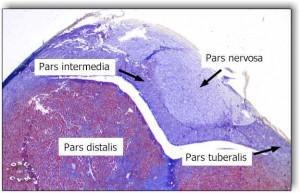 Image of Pars intermedia