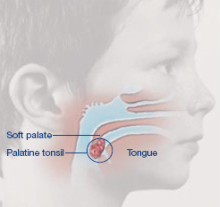 Palatine tonsil - Anatomy, Functions, Location and Pictures