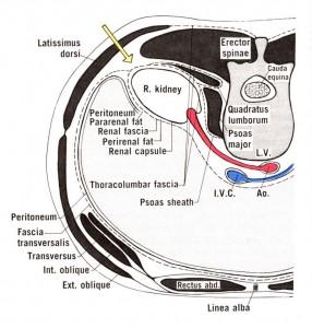 Image of Renal fascia