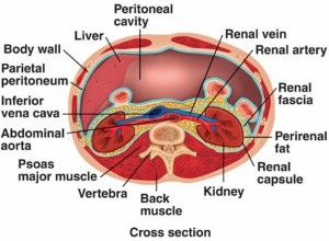 Picture of Renal fascia
