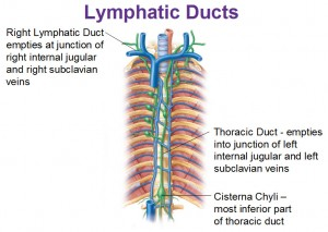 Image of Right lymphatic duct