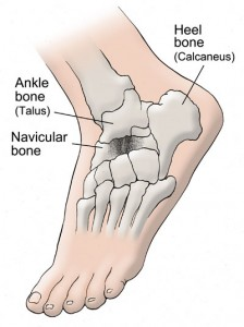 Image of Navicular Bone