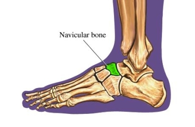 navicular bone - location, functions and images, Human Body