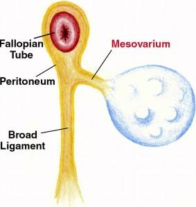 Picture of Mesovarium
