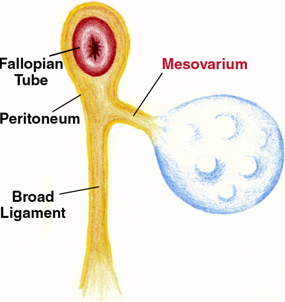 mesovarium - definition, function and pictures, Human Body