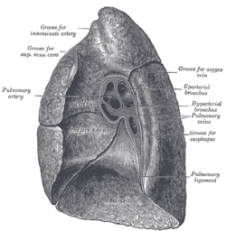 Picture of Pulmonary Ligament