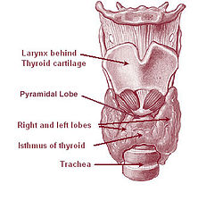 pyramidal lobe of thyroid gland - anatomy, location, functions and, Human Body