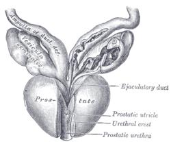 Image of Seminal colliculus