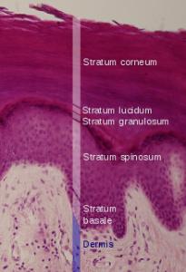 Picture of Stratum lucidum