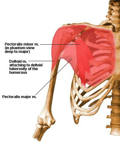 deltoid tuberosity - definition, location, anatomy, function and, Human Body