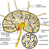 Image of Medulla of lymph node
