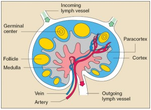 Picture of Medulla of lymph node