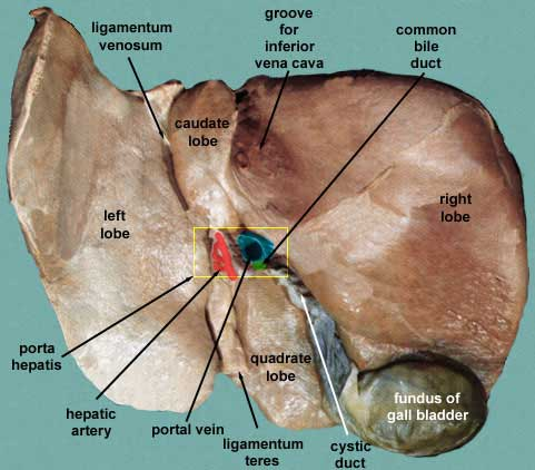 Porta hepatis - Anatomy, Location, Function and Pictures