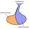 Picture of Posterior pituitary