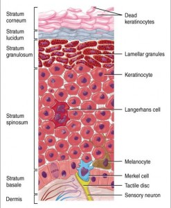 Image of Stratum basale