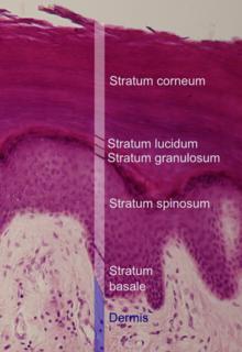 Picture of Stratum basale