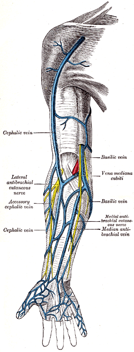 cephalic vein (antecubital vein) - location, function and pictures, Cephalic Vein
