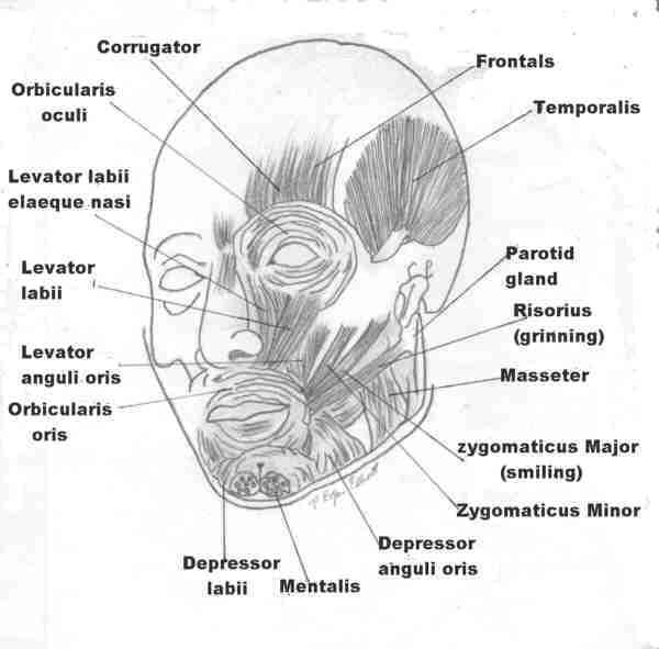 Pictures of Orbicularis oculi
