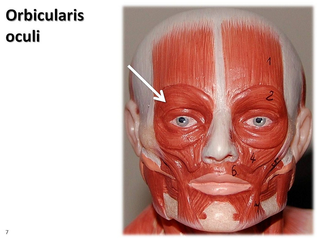 orbicularis oculi - location, function and pictures, Human body