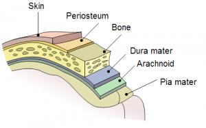 Periosteum Picture
